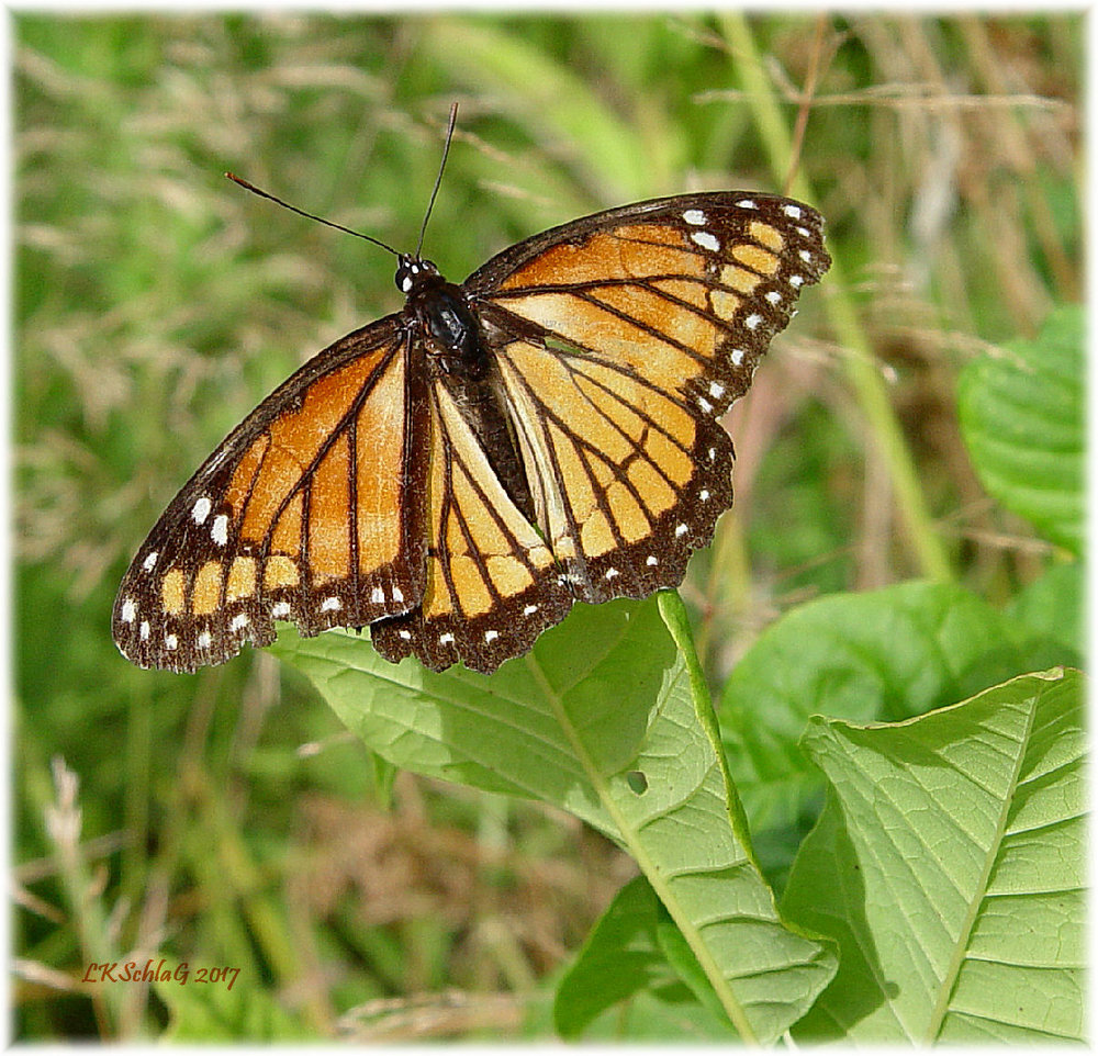 Viceroy butterfly  basking on leaf of   common milkweed  ,   Asclepias syriaca  , Lake Erie Bluffs, Lake County 13 August 2017, Lisa K. Schlag   viceroy VS monarch  image,  themagnificentmonarchbutterfly.weebly.com