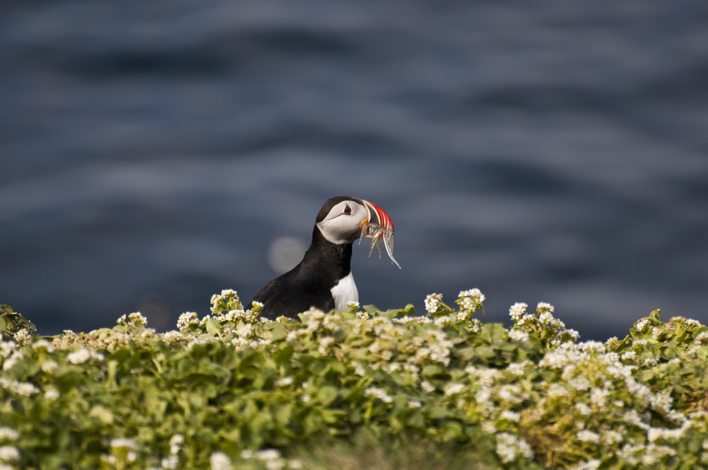 JUNE'12_Iceland_Finals_Puffin-02.jpg