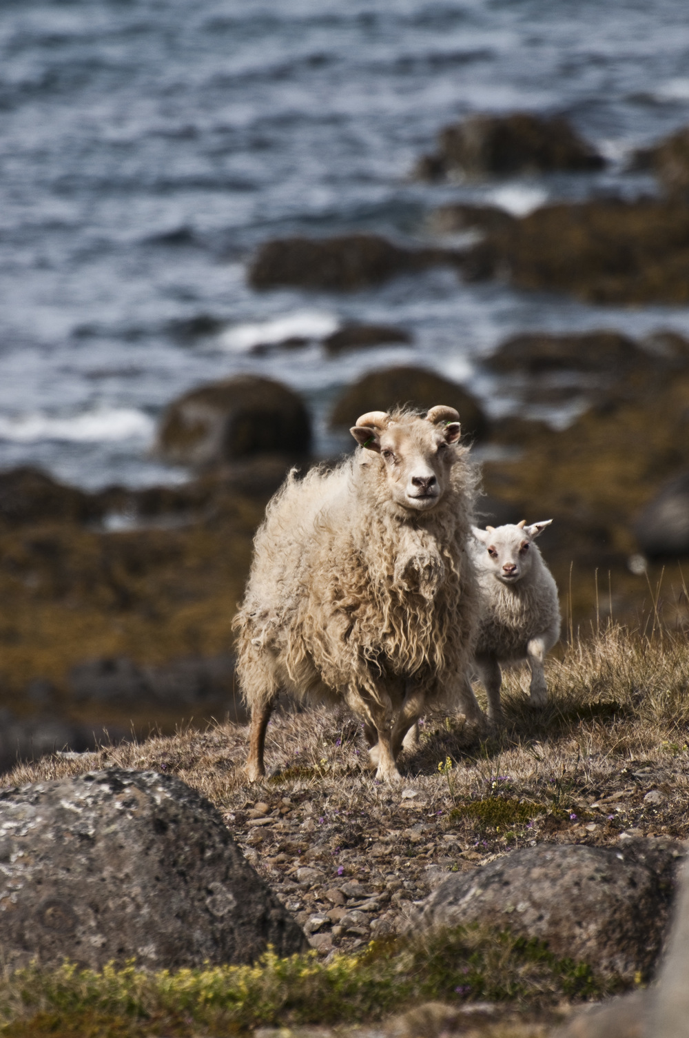 JUNE'12_Iceland_Finals_Sheep-02.jpg