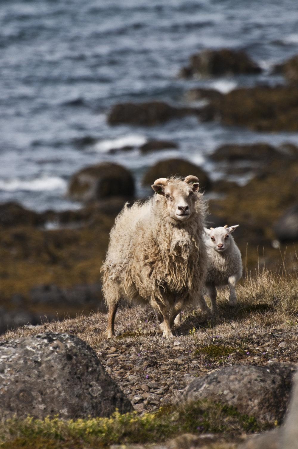 hellojlo_travel_iceland_sheep.jpg