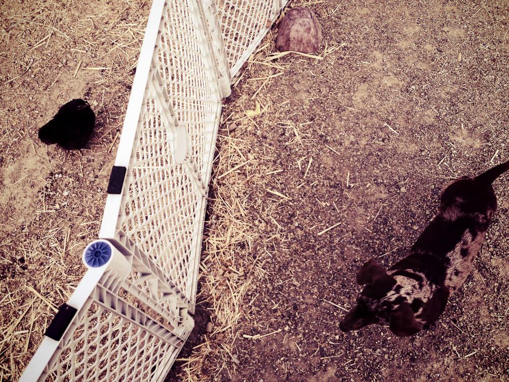 Dog vs. Chicken