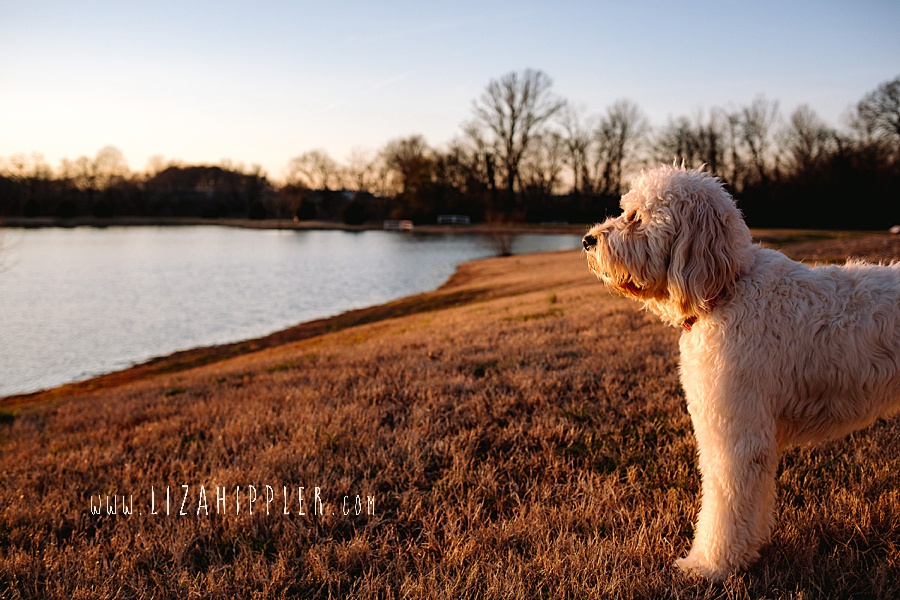 white labradoodle looks out over giant pond