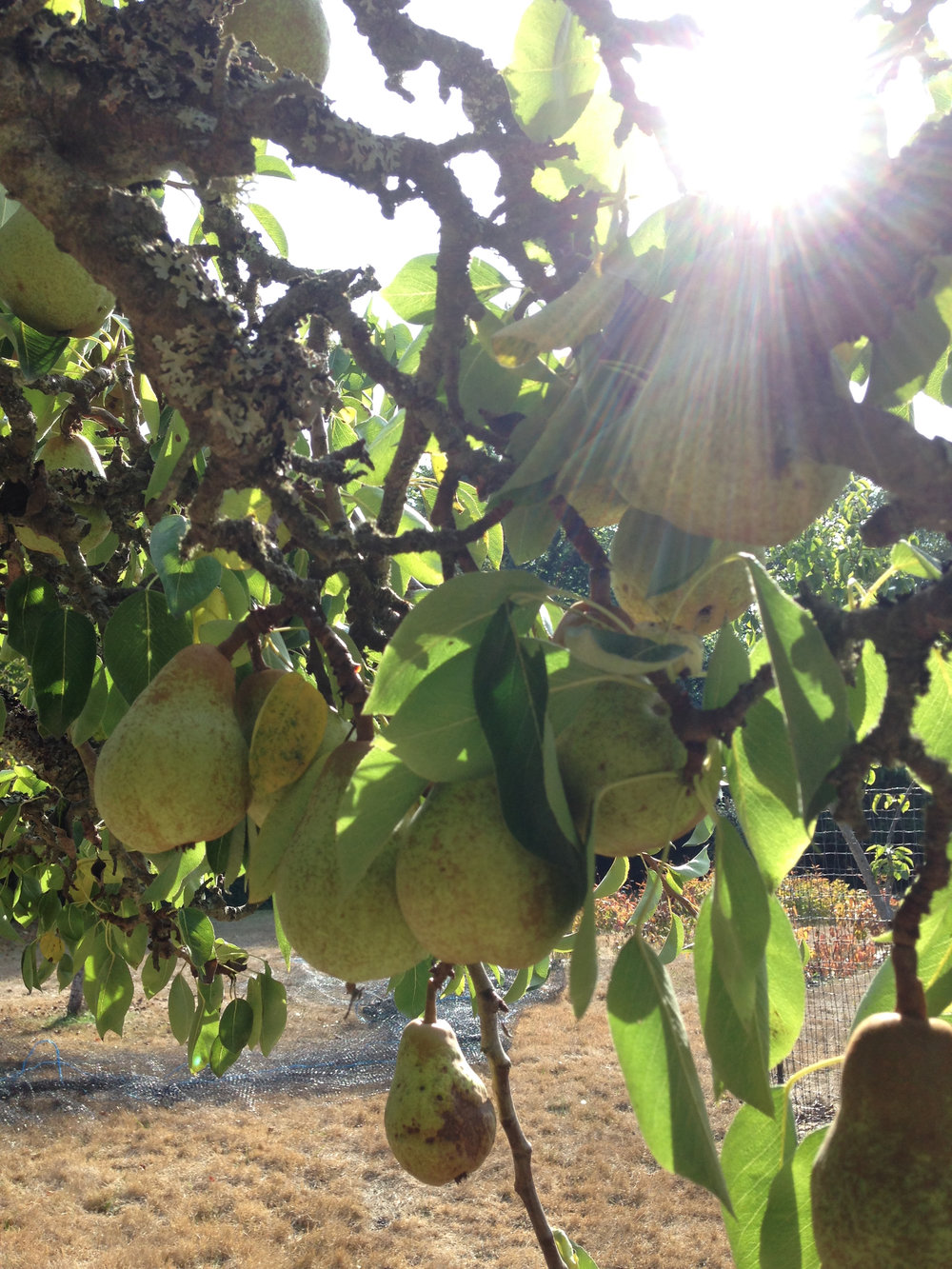 pears on trees.jpg