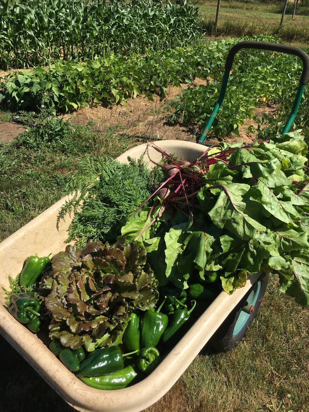 Lettuces, peppers, beets in cart.jpg