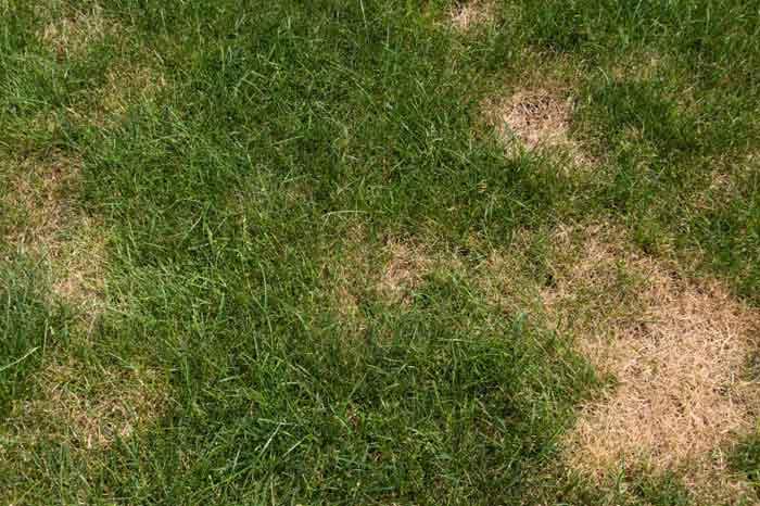 lawn-diseases-21.jpg