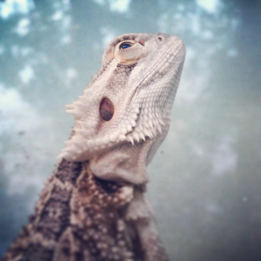 gizmo the bearded dragon the married couple pets