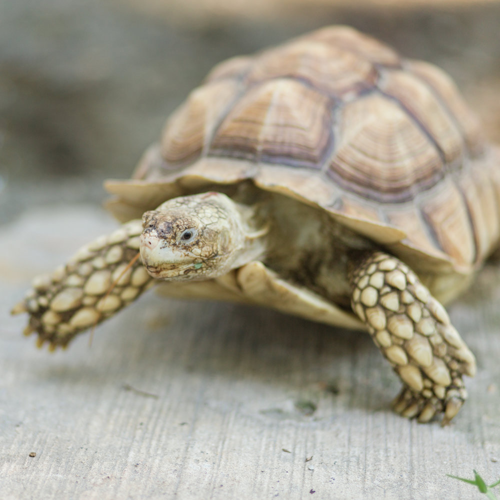 wilbur the tortoise the married couple pets