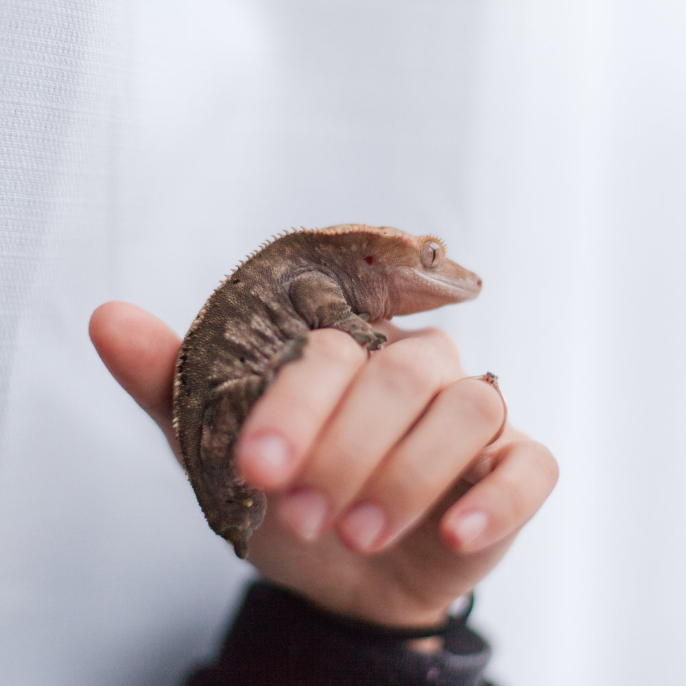 trouble the crested gecko the married couple pets