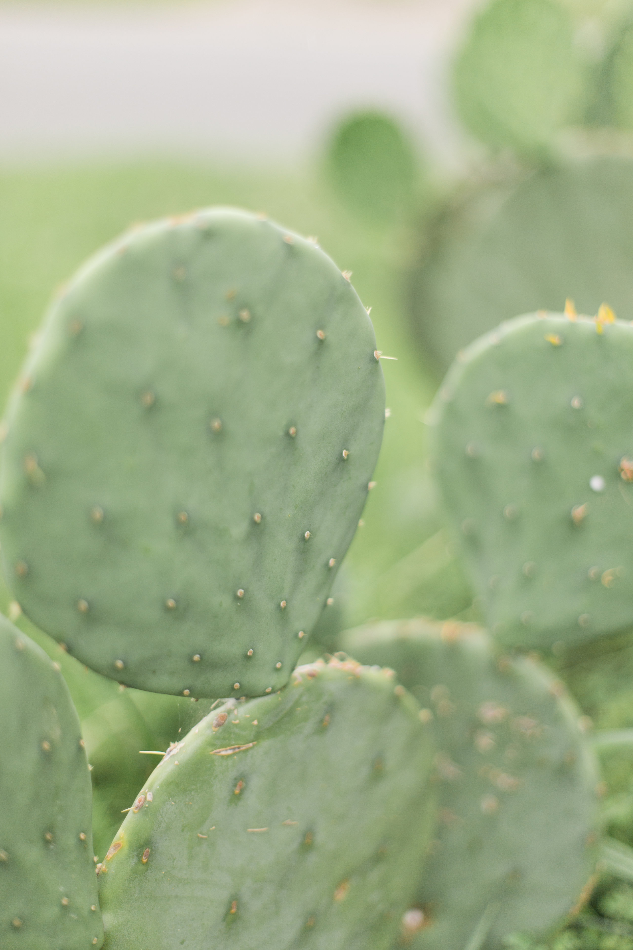 Pretty green prickly pear cactus. Our tortoises love to eat them.
