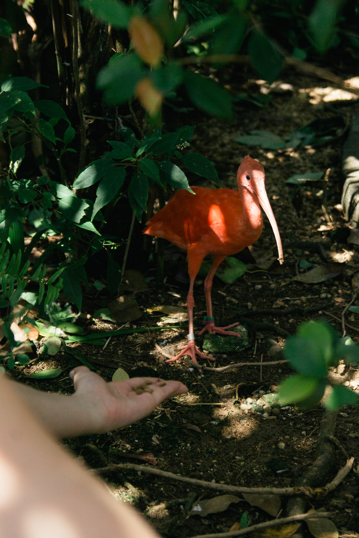 A scarlet ibis. Smol and shy