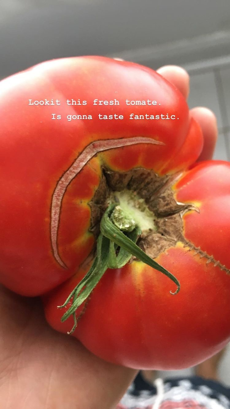Tomatoes are not sneaky, as they are bright red and highly visible among their green leaves. Unless you're colorblind. Sorry, Mark.