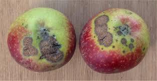Apple Scab 2