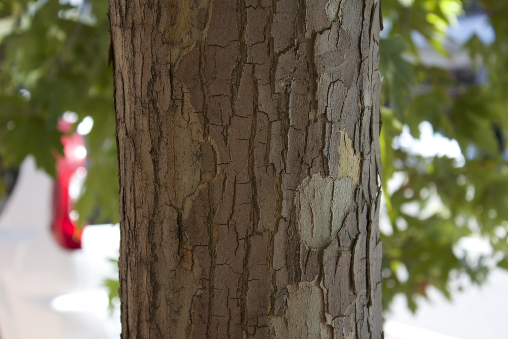 This bark is rough, but is held tightly. As it starts to shed, it should be removed to avoid the hazard. (Photo:Kerri Fennell)