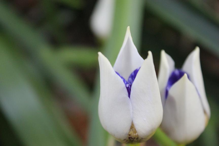 blue iris.png