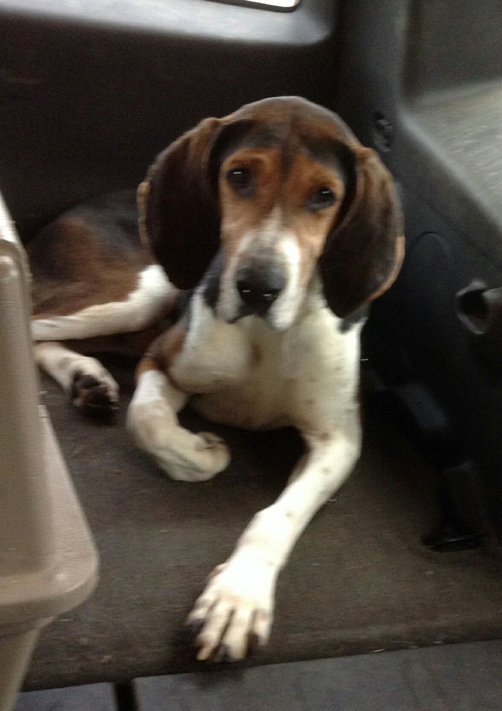 Hi everyone! I'm Elvis, a 4-year old American Foxhound. I'm easy going, have a loving temperament, and a real sweetheart. Look deep into my eyes - aren't they soulful? I'm taking classes with my pal Solar right now, but when I'm done, maybe you can make room in your house for this lovable hound dog?