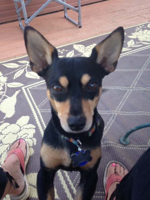 Hi, I'm Ocho! I'm a 10 pound toy Manchester Terrier. 1 year old, male. People say I'm a sweet companion and I'm ready for some fun.