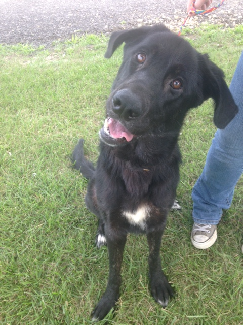 Hiya everyone! My name is Almond. I'm a 1-year old female black lab cross. People keep telling me I'm a very adorable young girl with a great disposition. I mean, just look at how adorably I tilt my head! I was a stray and had flea infestation which caused some hair loss but I'm getting healthy now that I've been treated. Everyone says I will be a big beauty!