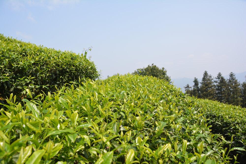 茶芽4.JPG