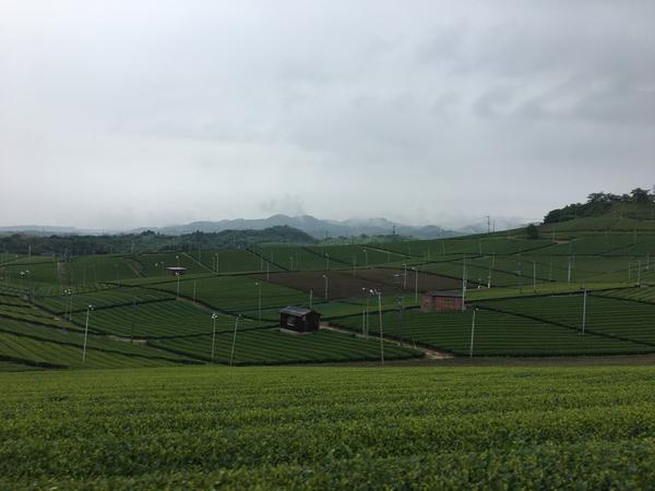 yame field 2.jpeg