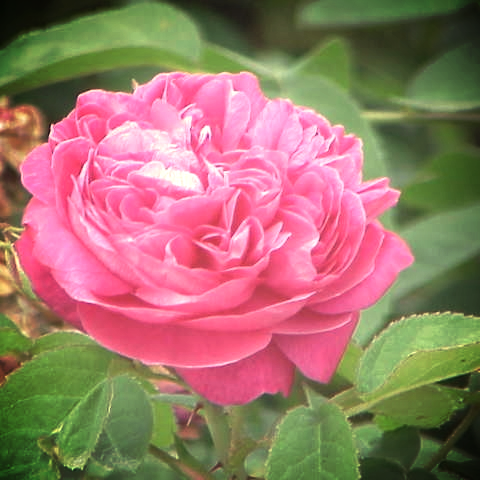 Damascena Rose