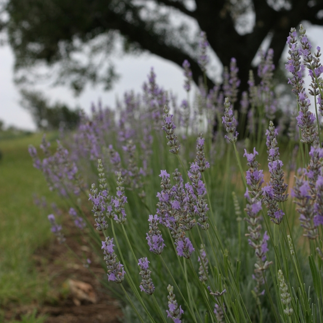 Texas lavender, image from  hillcountrylavender.com