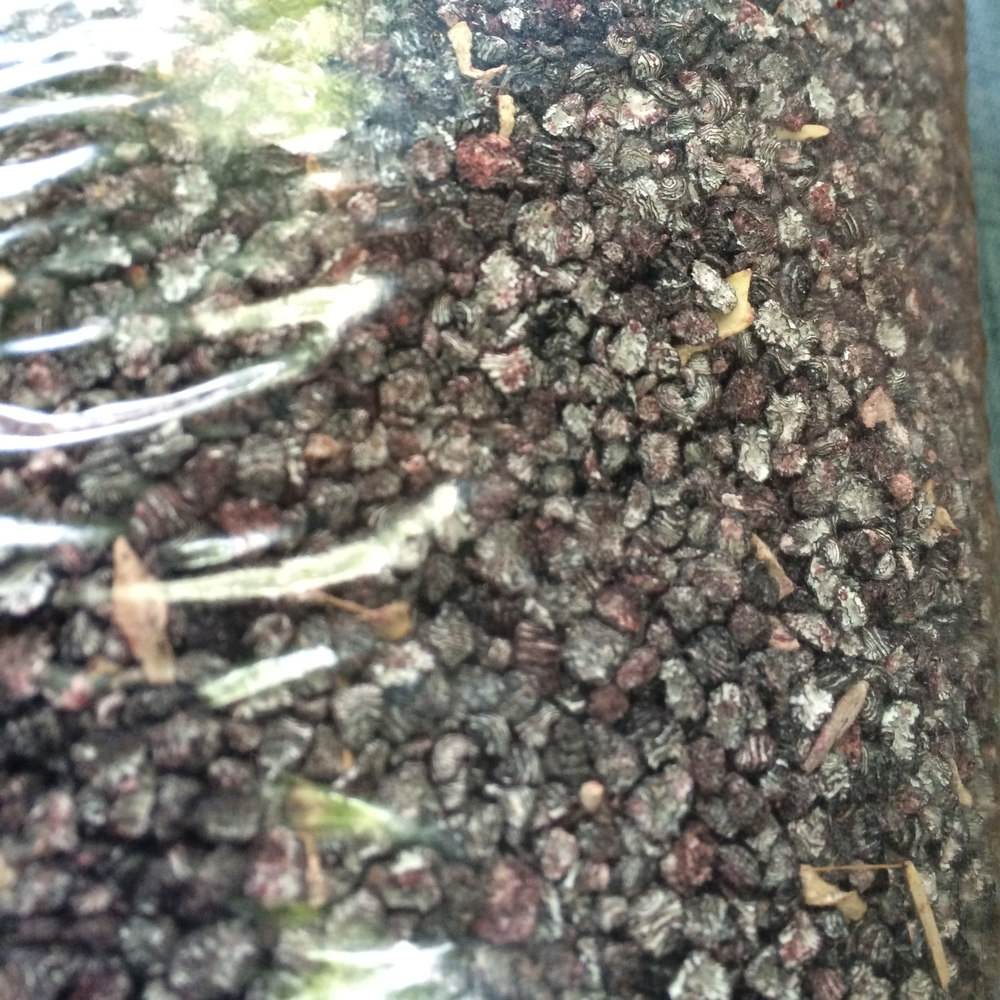 Dried cochineal beetles