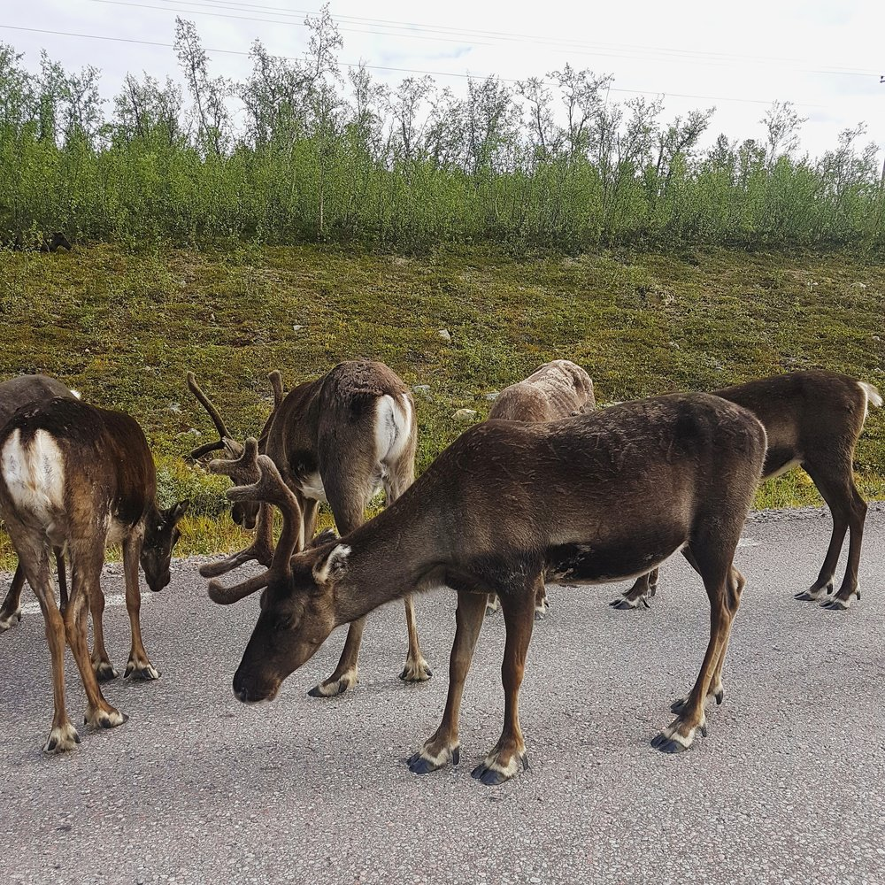 Traffic congestion...  The only time the traffic stopped was when the tourists slowed down to take a picture of the reindeer blocking the road. For me, this one of those simple, but precious moments in life.  It definitely made me happy!