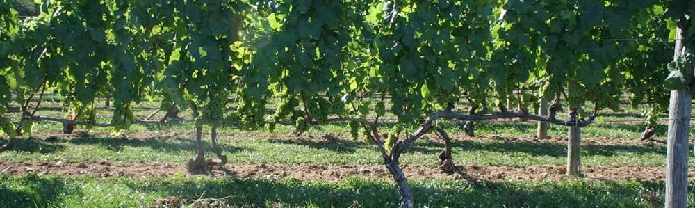 imagine-vineyard.jpg