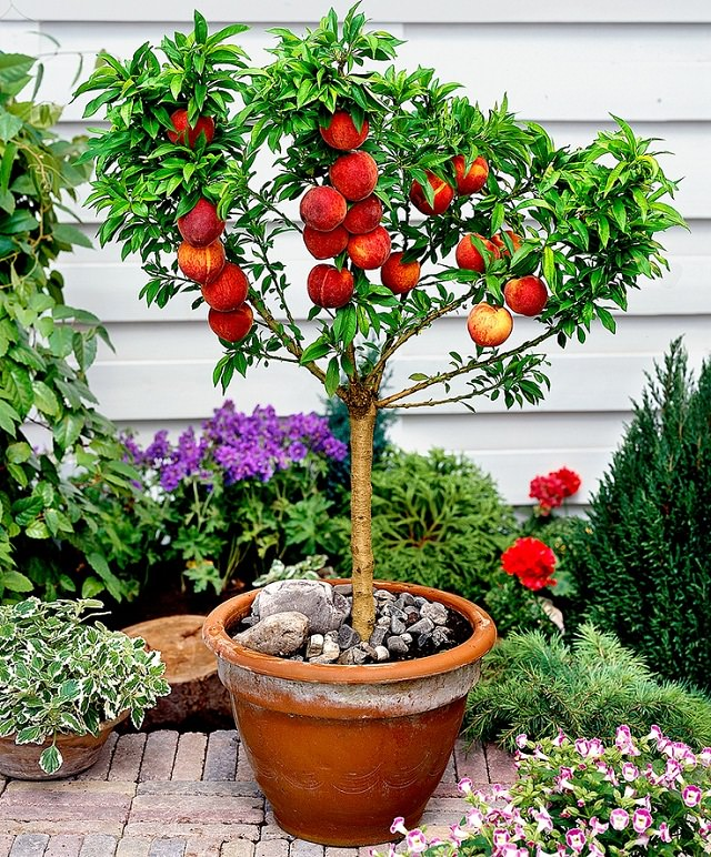 Dwarf-peach-tree.jpg