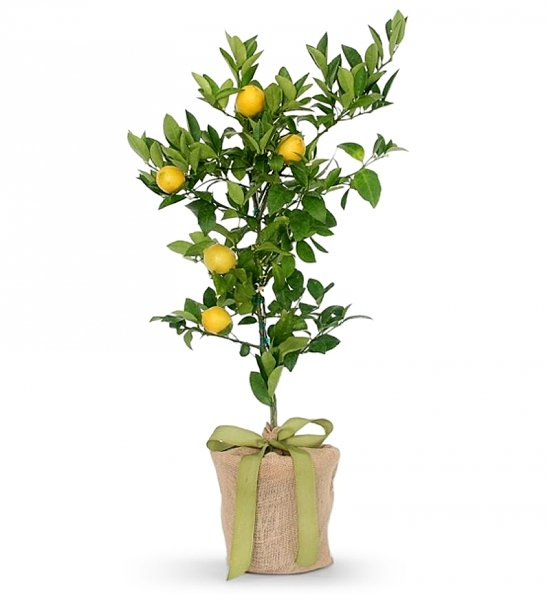 22562a_Meyer-Lemon-Tree.jpg