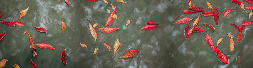 """Red Leaves On Water"" Photograph by Vincent DiLeo"