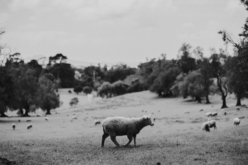 Cornwall Park Sheep, Auckland