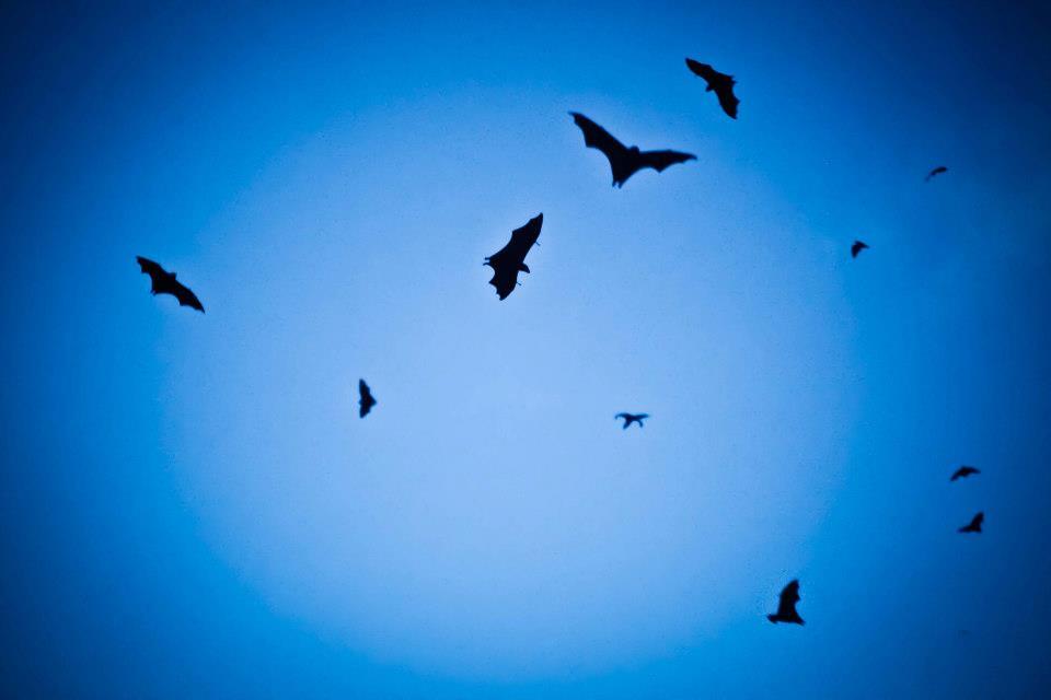 SouthSeaNomads Bat flight from Satonda.jpg