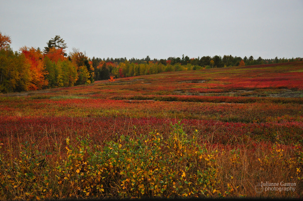 The wild blueberry barrens of Maine turn fiery red in fall, this alone was worth the trip long before we reached Cobscook Bay State Park Campground.
