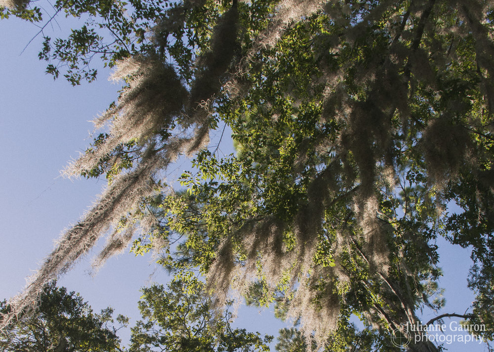 A Yankee, I had never seen Spanish moss, or resurrection ferns and walked around watching them every time it rained, which gave brief respite to the humidity and fierce bugs, before bringing them down worse.  This is not an easy place to live but people are deeply devoted and said we shouldn't let the secret get out.
