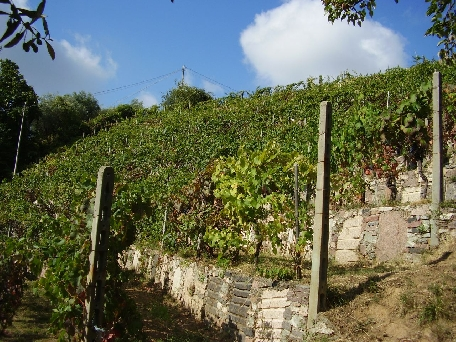 a view of the vinyard in summer. The walls are made from granite off-cuts; an experiment by Sem that drew laughter from the neighboring farmers. They said his vines would wither from the heat of the granite. The were wrong. Feudo is always the first in the area to harvest.