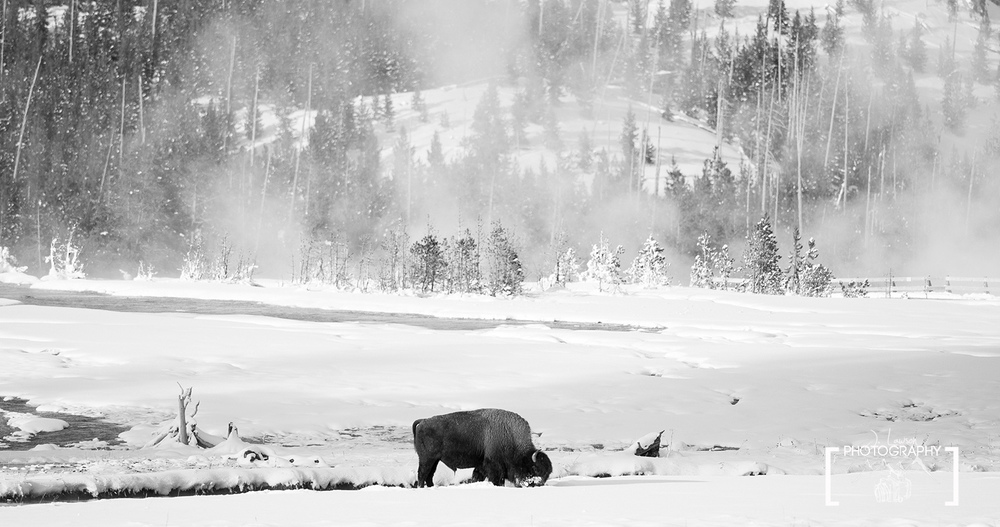 A lonely bison grazing through the winter