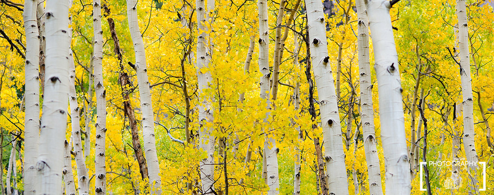 Aspen trees in Colorado during the fall