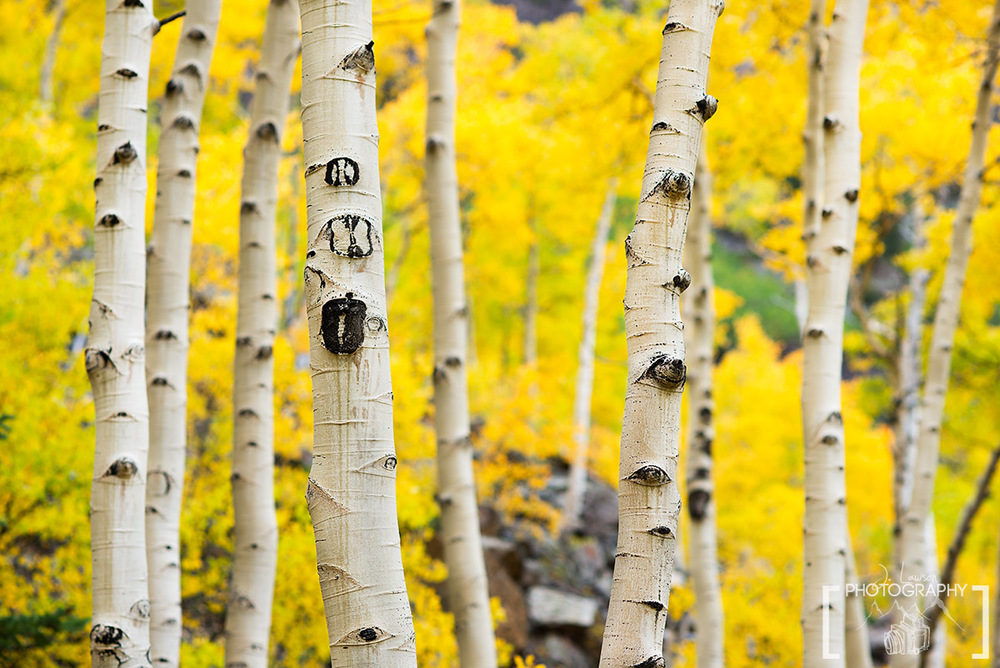 Up close with a maze of yellow Aspen trees in Aspen, Colorado