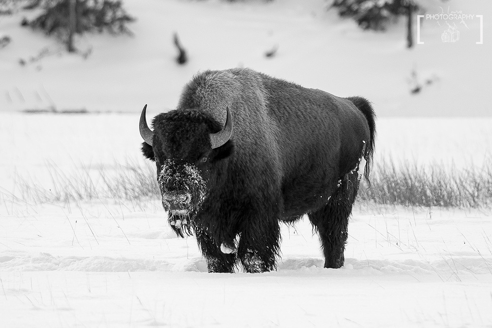 Bison Stare, Yellowstone National Park.  Photo Credit: Jared Lawson Photography