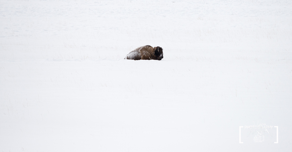 Taking a Break, Yellowstone National Park.  Photo Credit: Jared Lawson Photography