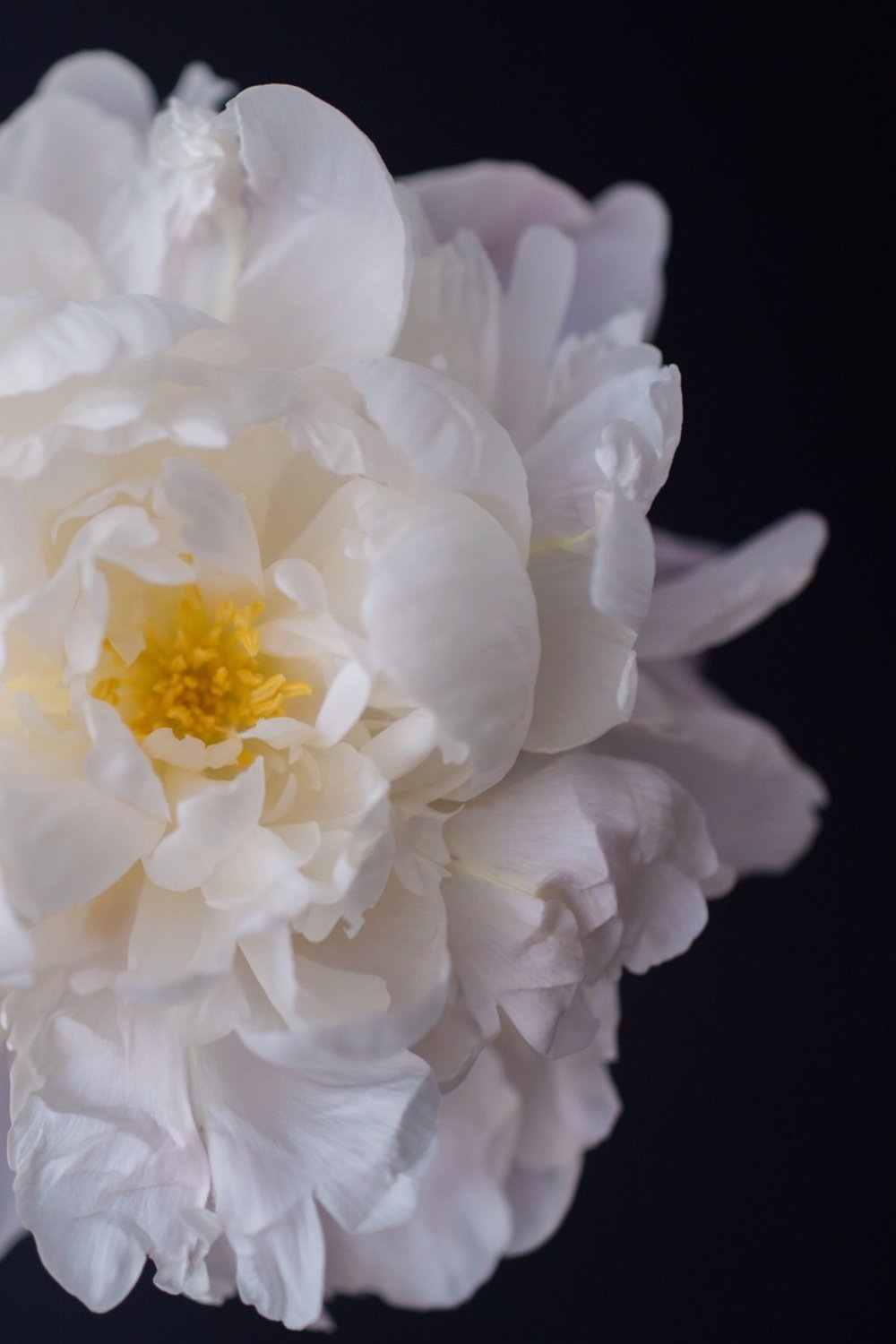 peony_white_yellow_flower.jpg