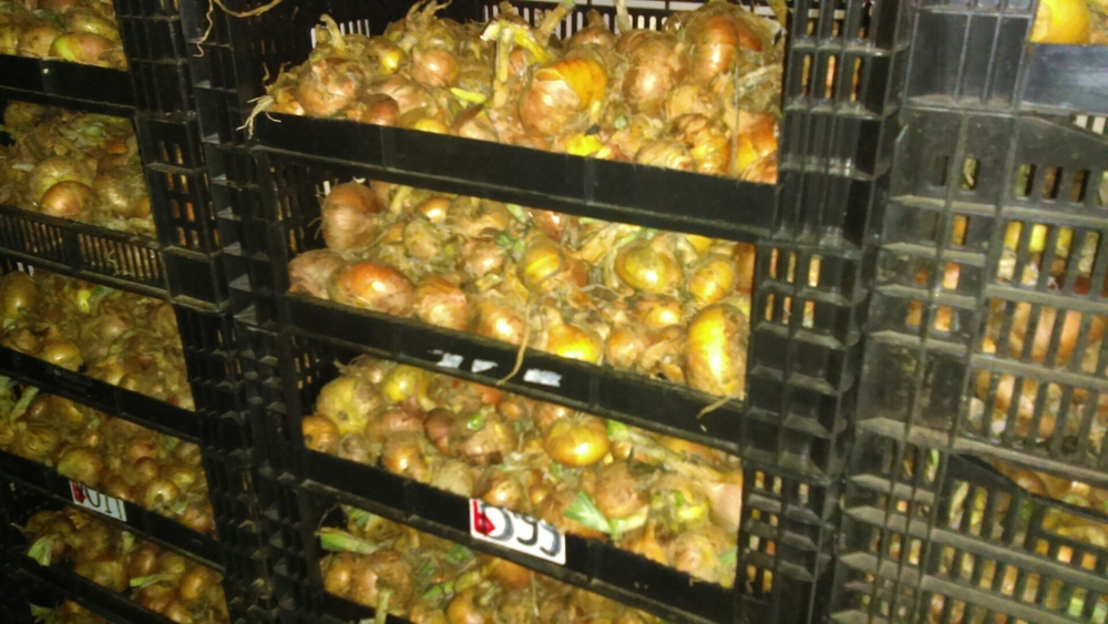 Yellow Onions in the drying house.