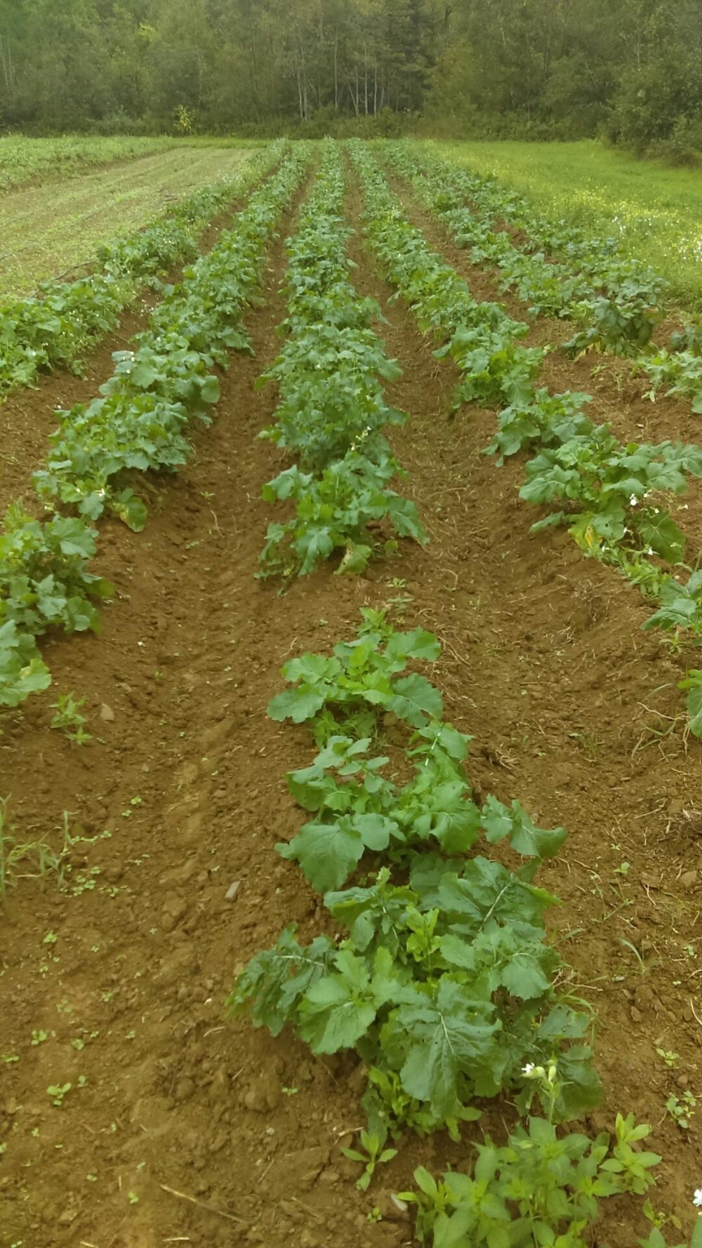 Turnip Soaking in the last few weeks of summer warmth