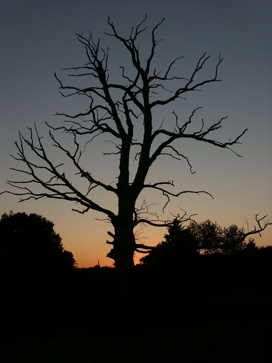 Dead_Tree_Silhouette_with_Sunset.JPG