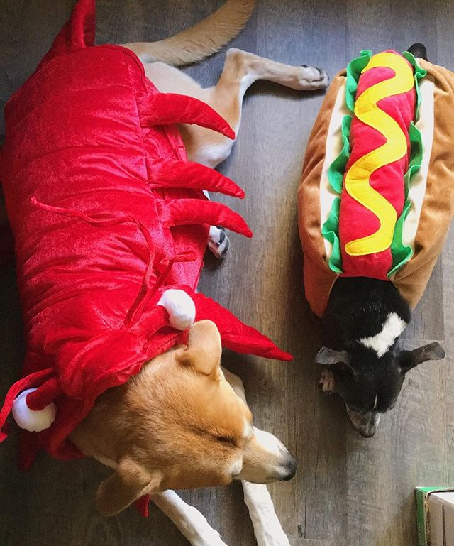 What's for dinner? #halloween2016 #dogsofinstagram #neenertran #loganng #halloweendogs #hotdogdog #lobsterdoge #thetraNGs