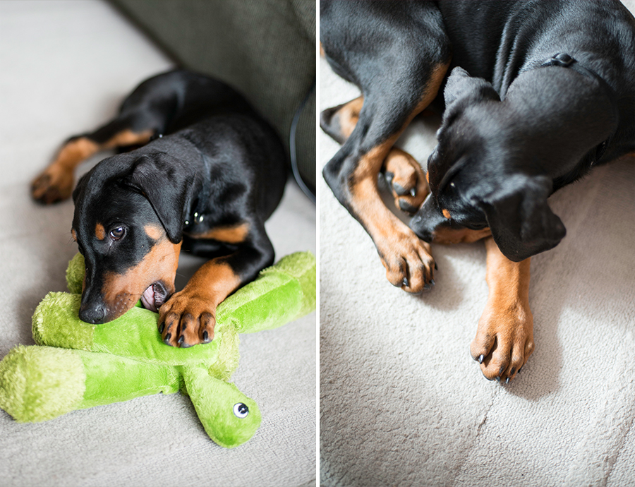 dog puppy doberman washington dc photographer