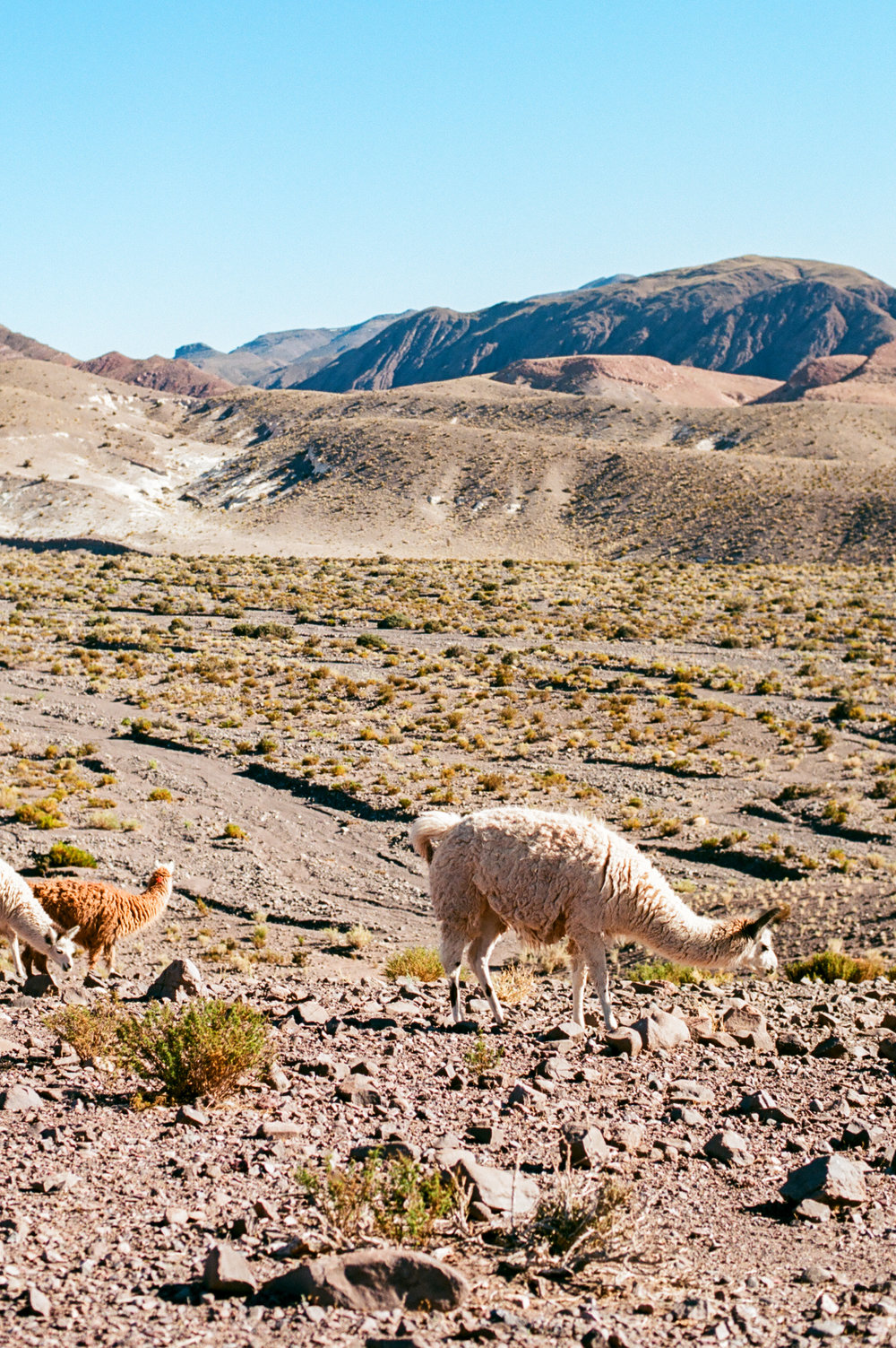 llama in the Atacama Desert of Chile by fine art destination photographer Lissa Ryan Photography