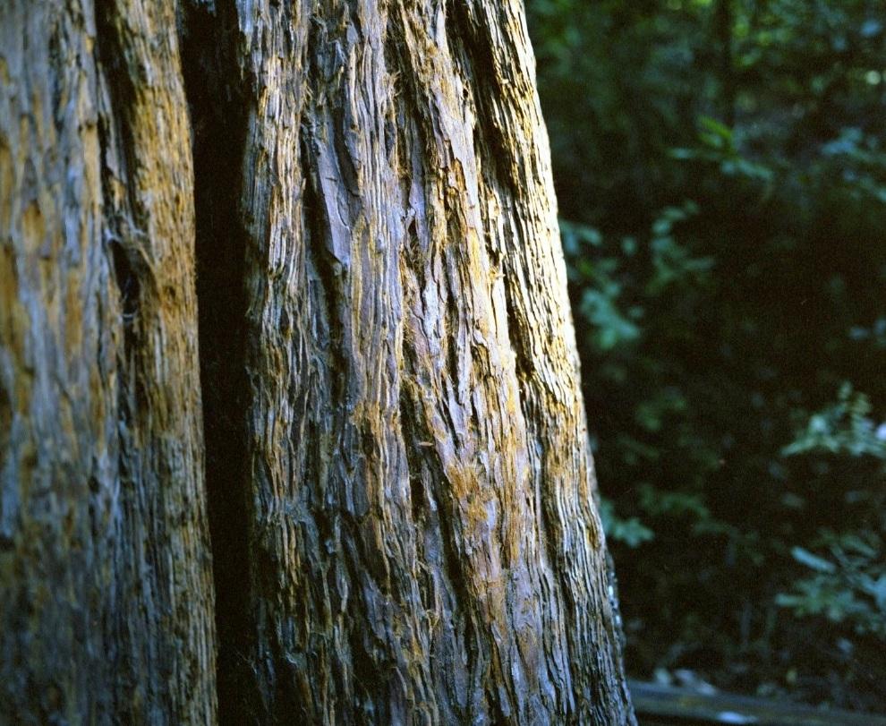 muir woods 1.jpeg