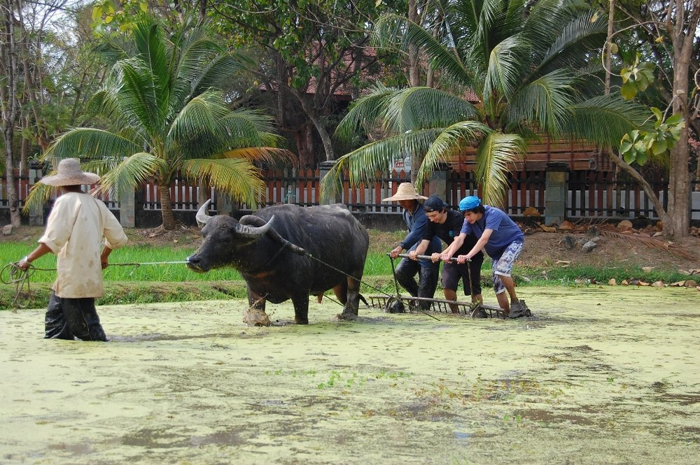 Langkawi, Laman Padi, Rice Fields, Buffalo Plough (2).JPG